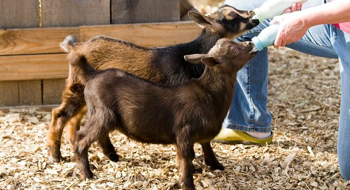 Bottle-Feed-Goats-1